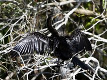 A Wet Anhinga. This is a Winter picture of a wet Anhinga perched on a branch drying out its wings in the Everglades located in the Big Cypress National Preserve royalty free stock photos