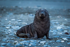 Wet Antarctic fur seal on shingle beach Stock Photos