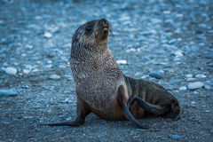 Wet Antarctic fur seal on stony beach Stock Image