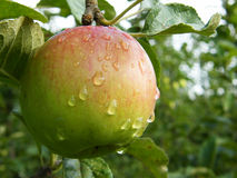 Wet apple. Red green apple with water drops Royalty Free Stock Images