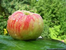Wet apple (grushovka) on green background Royalty Free Stock Image