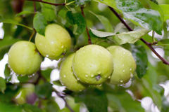 Wet apples  on a tree Stock Photography