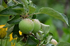 Wet apples on the tree Royalty Free Stock Images