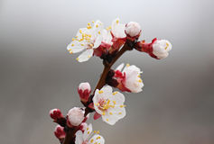 Wet apricot tree blossom Stock Images
