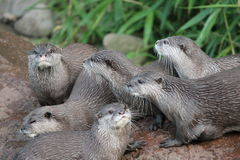 Wet Asian small-clawed otters Stock Image