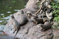 Wet Asian small-clawed otters Royalty Free Stock Photos