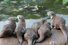 Wet Asian small-clawed otters Royalty Free Stock Image