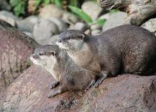 Wet Asian small-clawed otters Royalty Free Stock Images