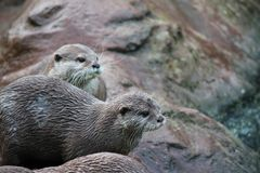 Wet Asian small-clawed otters Stock Images