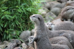 Wet Asian small-clawed otters Stock Photography