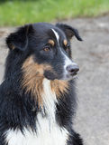 Wet Australian shephard puppie. Wet young aussi pet potrait looking carefully Stock Images