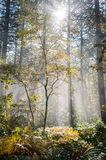 Wet autumn forest with fog Royalty Free Stock Photo