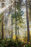 Wet autumn forest with fog Royalty Free Stock Images