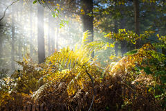 Wet autumn forest with fog Royalty Free Stock Photos
