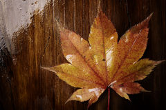 Wet autumn leaf Royalty Free Stock Images