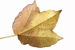 Wet autumn leaf. Closeup isolated on white background royalty free stock photos