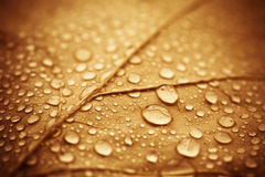 Wet autumn leaf. Vibrant vintage - colored leaf with rain drops Stock Photography