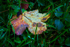 Wet autumn leaf on green grass. Abstract wet autumn leaf on green grass Royalty Free Stock Photos