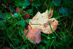 Wet autumn leaf on green grass. Abstract wet autumn leaf on green grass Royalty Free Stock Images