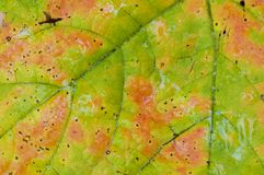 Wet Autumn Leaf Macro Stock Images