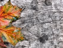 Wet Autumn leaf Royalty Free Stock Image