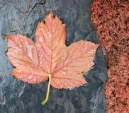 Wet autumn leaf Stock Images