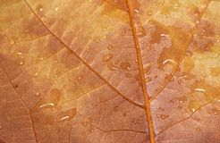 Wet autumn leaf - RAW format Stock Image
