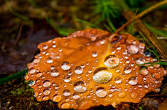 Wet autumn leaf Stock Images