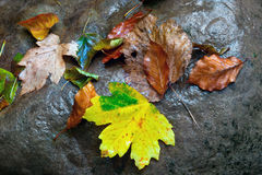 Wet autumn leafs Royalty Free Stock Photos