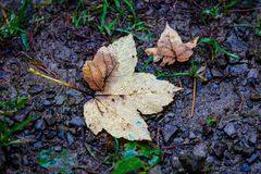 Wet autumn leafs Royalty Free Stock Image