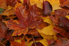 Wet Autumn Leaves. Autumn colours in a bed of wet leaves Royalty Free Stock Image