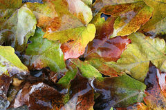 Wet autumn leaves. As a beautiful natural background Royalty Free Stock Photography