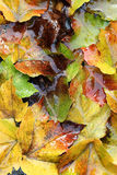 Wet autumn leaves. As a beautiful natural background Royalty Free Stock Photos