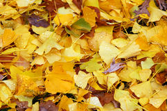 Wet autumn leaves. Colorful pile of wet autumn leaves Royalty Free Stock Photography