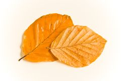 Wet autumn leaves. Wet and rainy autumn leaves in natural light Stock Image