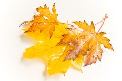 Wet autumn leaves. Wet and rainy autumn leaves in natural light Royalty Free Stock Photography