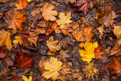 Wet autumn leaves background Stock Photos