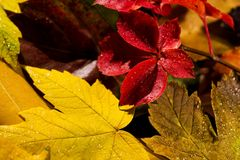 Wet autumn leaves, close-up photo. Autumn leaves, close-up photo for background Stock Image