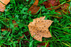 Wet autumn leaves with drop of dew Royalty Free Stock Images