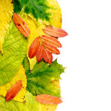 Wet autumn leaves Stock Photos