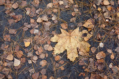 Wet autumn leaves after rain on ground Royalty Free Stock Image