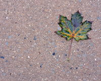 Wet Autumn Maple Leaf on Sidewalk Royalty Free Stock Photos