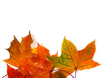 Wet autumn multicolor maple-leafs with water drops Stock Images
