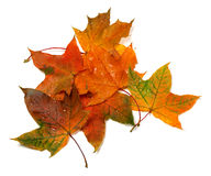 Wet autumn multicolor maple-leafs with water drops Stock Photo