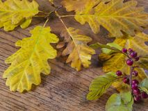 Wet autumn yellow oak tree leaves and close up red rowan berry o royalty free stock photography