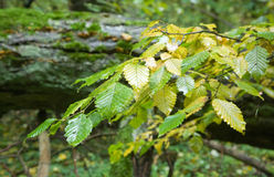 Wet autumnal hornbeam leaves Royalty Free Stock Image