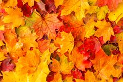 Wet autumnal maple leaves in a morning Stock Photo