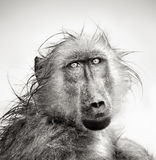 Wet Baboon portrait Stock Images