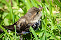 Wet Baby Bird Looking Up Stock Photography