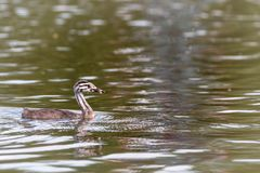 Wet baby Great Cested Grebe. Cute, wet young great crested grebe, Podiceps cristatus, floating on water surface of fishing lake royalty free stock images